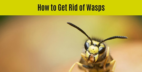 How to Get Rid of Wasps in Your Yard