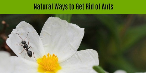 Ten Natural Remedies To Get Rid of Ants