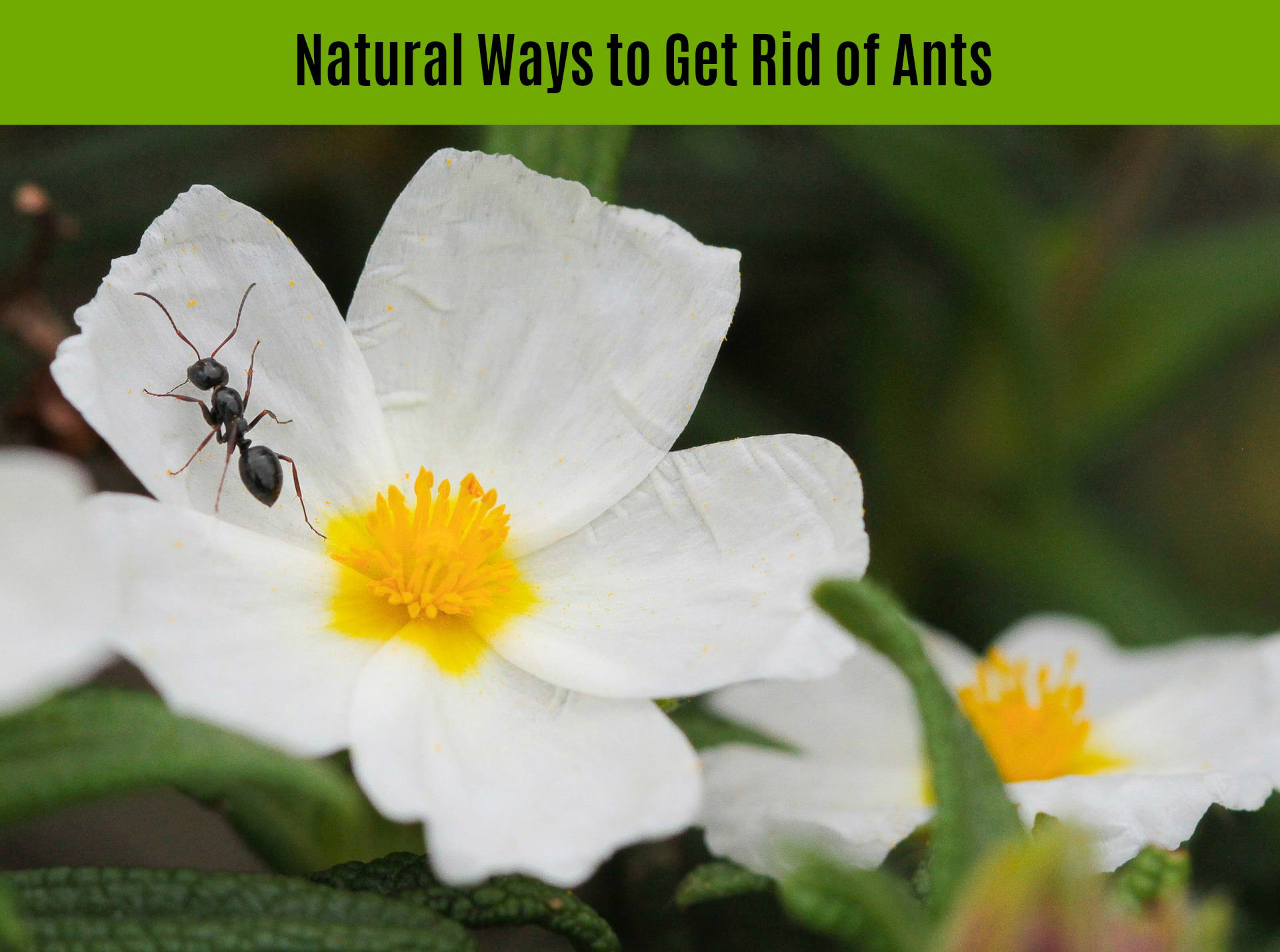 Ten Natural Home Remedies to Get Rid of Ants and Keep Them Out