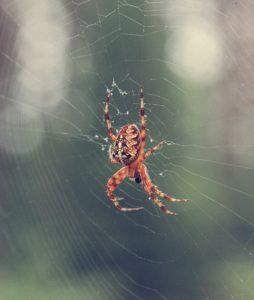 Large orange spider in his web